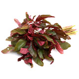 Amaranthus Red Pc